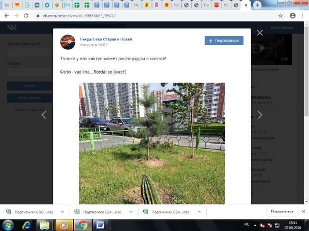 Фото дня: в Некрасовке кактус вырос рядом с сосной