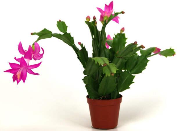 Все секреты цветения и выращивания самого новогоднего растения