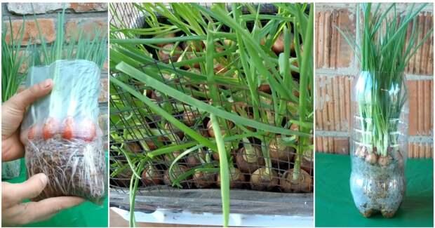 Зеленый лук без проблем: выращиваем с землей и без, вне зависимости от сорта