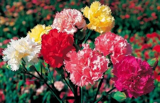 Гвоздики, красно-черный букет, четное количество цветов запреты, интересное, подарки, полезное, примете