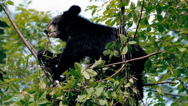 Гималайский медведь очень любит черемуху