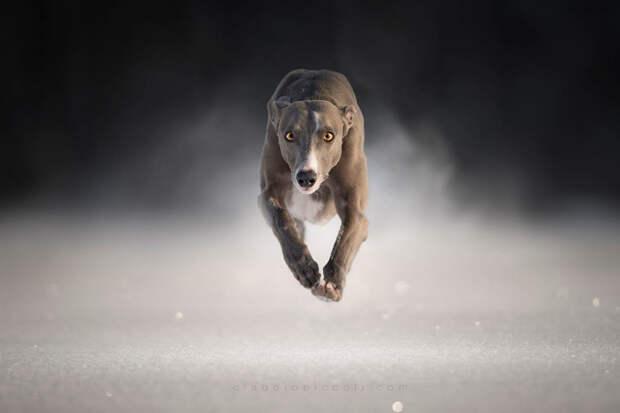 Супер собаки в фотографиях Клаудио Пикколи 27
