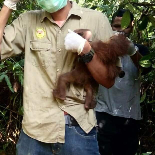 Самка орангутана ослепла, защищая детеныша Браконьеры, Суматра, ветеринары, животные, индонезия, обезьяны, орангутаны, помощь животным