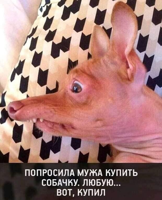 Возможно, это изображение (собака и текст «попросила мужа купить собачку. любую... вот, купил»)