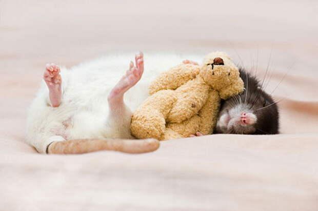 Очаровательные крысята