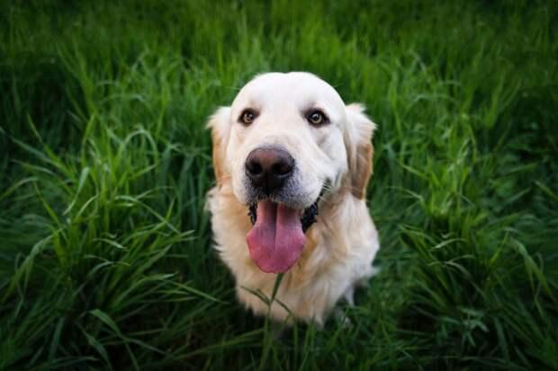 Пять причин, из-за которых собаки едят траву
