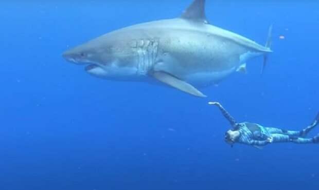 В глубинах океана обнаружили самую большую в истории белую акулу