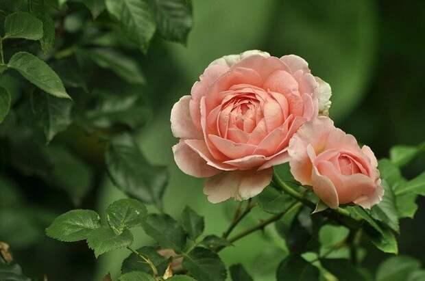 Какие питомники роз заслуживают внимания