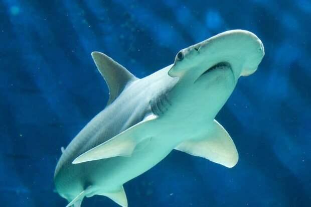 Акулы чувствуют магнитное поле