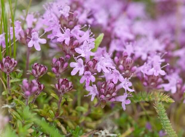 Аптекарский садик: лекарственные растения на даче