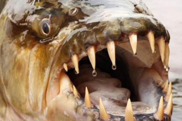 Рыбак в Африке поймал гигатскую пиранью, которая может охотиться даже на крокодилов
