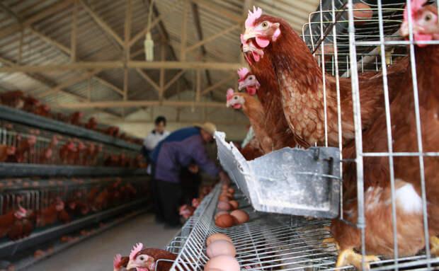 Эксперты назвали меры профилактики при птичьем гриппе