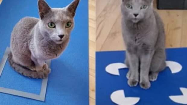 Кошки любят сидеть в коробках, даже если это оптическая иллюзия