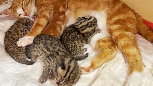 «Воспитывает как своих»: в Приморье домашняя кошка выкармливает леопардовых котят