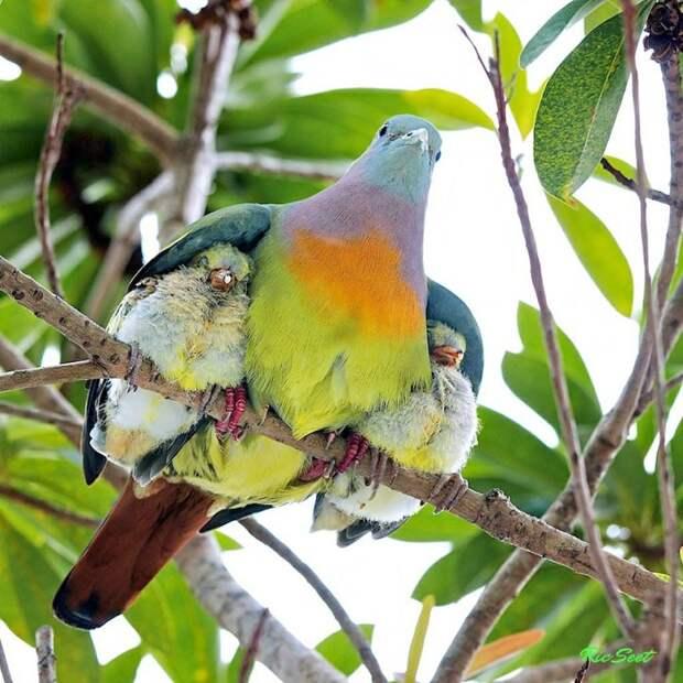 родители животные с их детенышами  попугай
