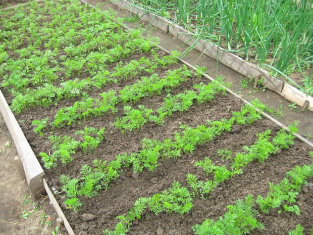 Как вырастить хорошую и здоровую морковь: советы по уходу от посева до урожая