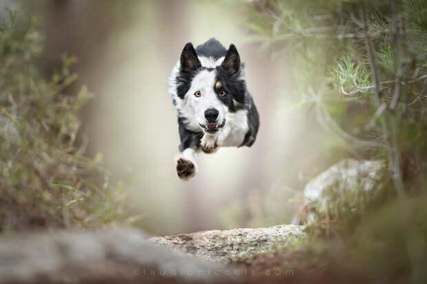 Супер собаки в фотографиях Клаудио Пикколи 31