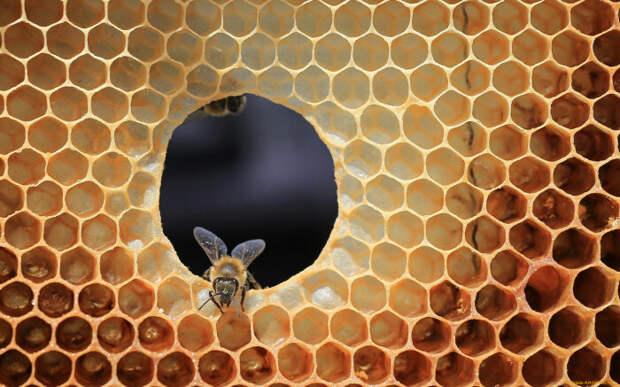 Трутни также выполняют роль живого щита для королевы-пчелы / Фото: uleypchel.com.ua