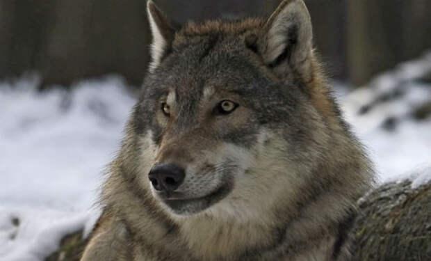 Волк упал в овраг, но на помощь пришел лесник. Через год волк вернулся и снова позвал к оврагу