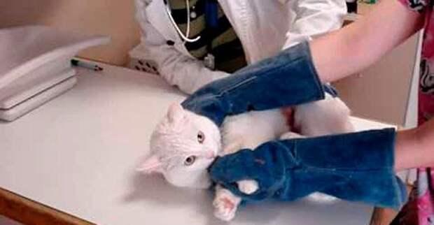 Кот на приёме у ветеринара. Вот это зверюга...