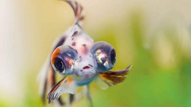 Аквариумная рыбка телескоп – пучеглазая золотая рыбка.