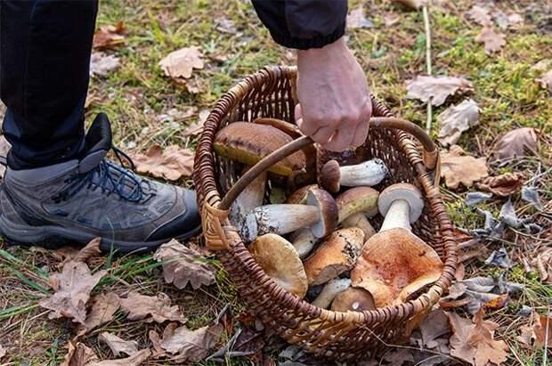Растим белые. Можно ли посадить королевский гриб на даче?