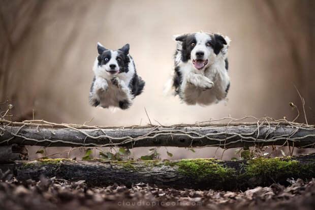 Супер собаки в фотографиях Клаудио Пикколи 32