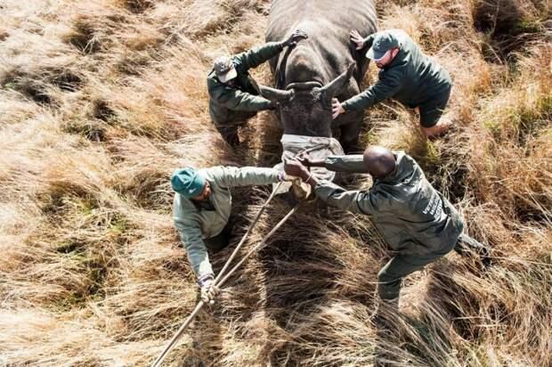 Южноафриканский носорог спасается от браконьеров