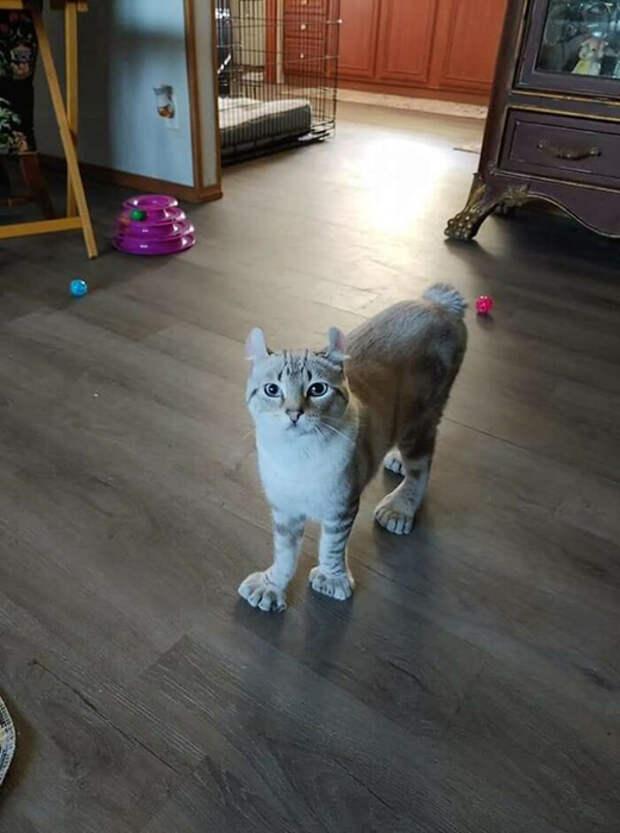 У кошки какая-то деформация лап?