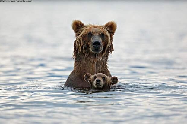 родители животные с их детенышами  медведь