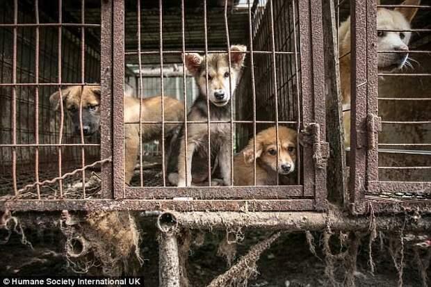 На ферме обнаружили собак разных пород, в том числе борзых, спаниелей, мастифов, а также несколько золотистых ретриверов, биглей, и корейских собак хиндо. животные, защитники животных, новости, собаки, спасение, фото, щенки, южная корея
