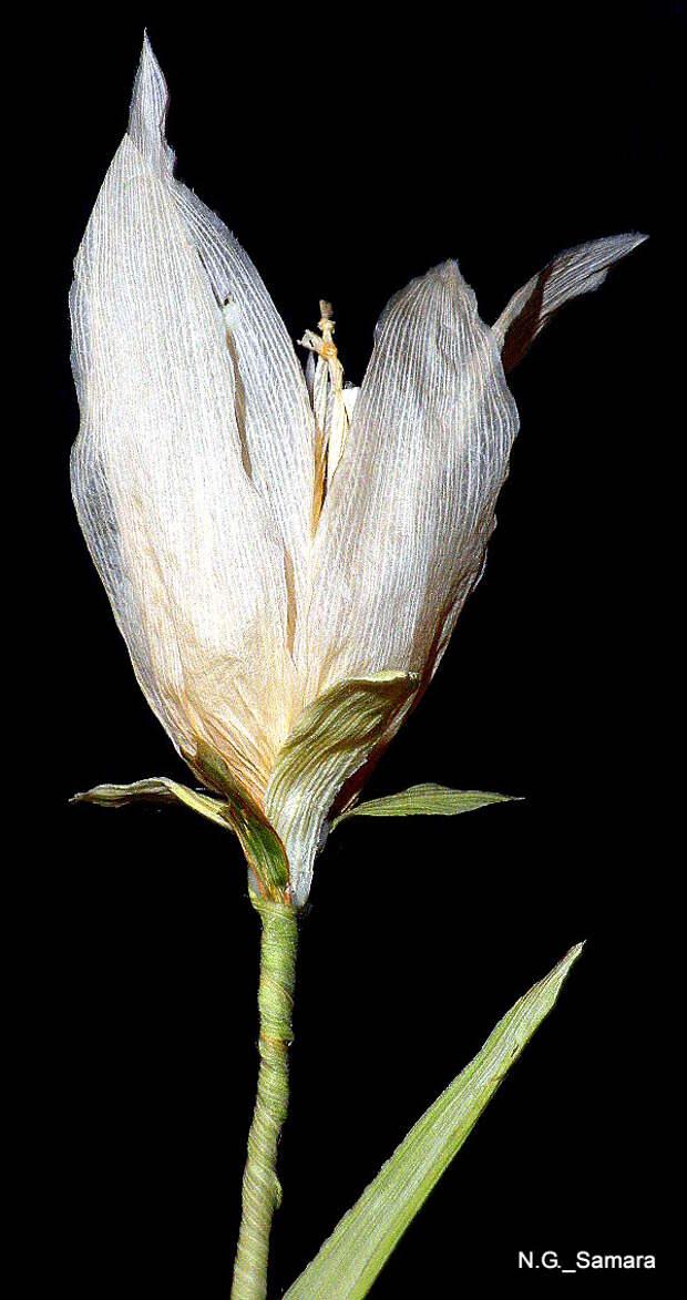 Как сделать лилию из листьев  кукурузы?