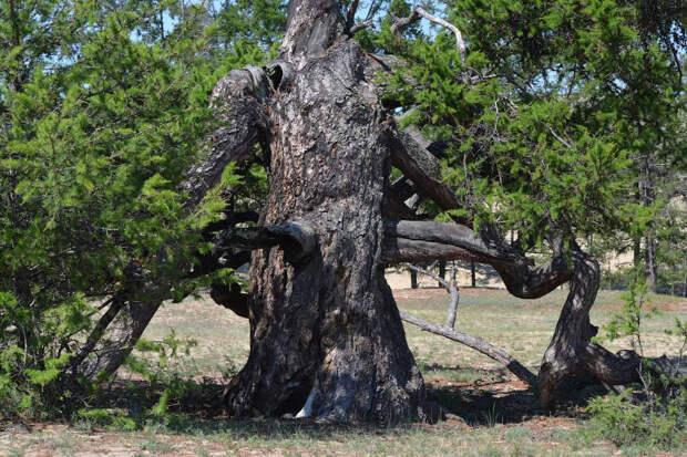 Топ-5 самых старых деревьев России