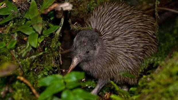 Птица киви обитает в Новой Зеландии
