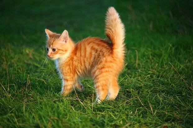 """Взяли рыжее блохастое существо вместо """"Британца"""" и нисколько не пожалели - наш кот сам нас выбрал"""