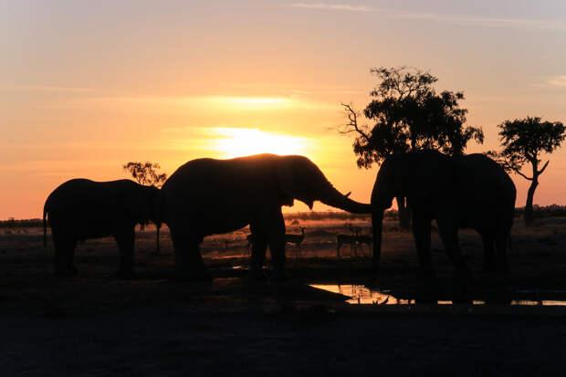В Ботсване снова массово гибнут слоны