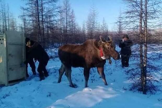 Мой дом – воля: якутского лосенка Бээчэ выпустили в естественную среду обитания