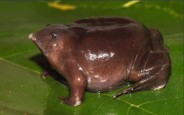 Самые интересные животные мира. Лиловая лягушка