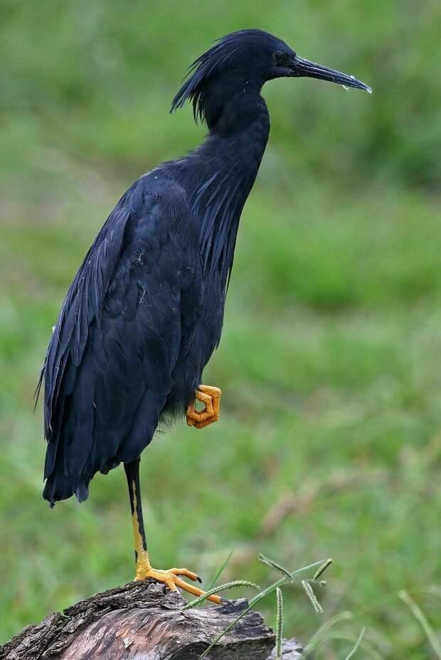 Самый хитрый охотник: птица, которая превращается в зонтик, чтобы привлечь рыбу