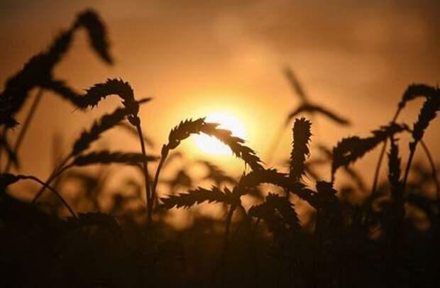 Экспортные цены на пшеницу РФ стабильны при поддержке укрепившегося рубля