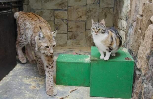 Чем закончилась необыкновенная дружба рыси и кошки, которая длилась 12 лет