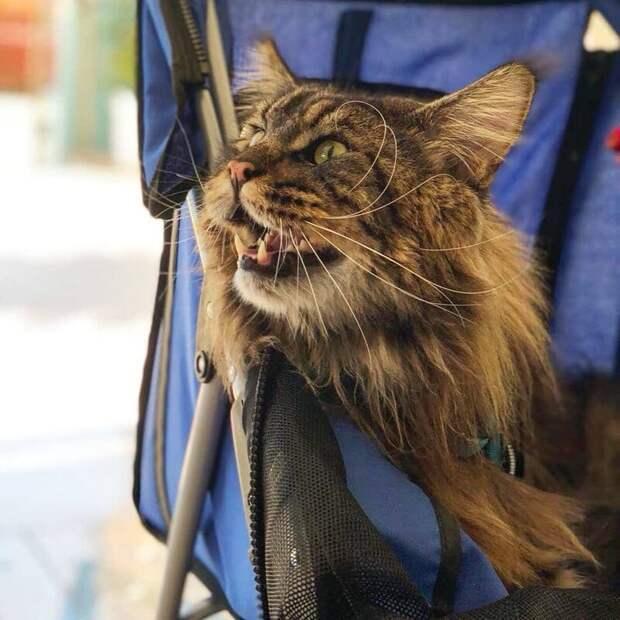 Самый длинный кот в мире попал в Книгу рекордов Гиннесса и стал звездой в Сети