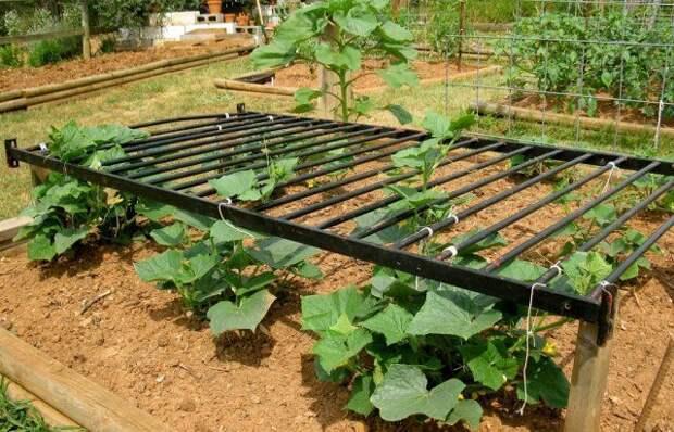 Секреты отменного урожая огурцов