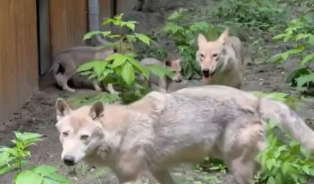 Трое волчат родились взоопарке Ростова
