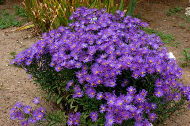 Многолетний садовый цветок Астра (Aster)
