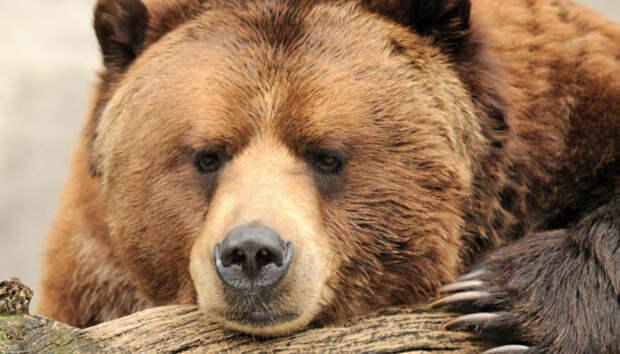 По Костомукше ходит медведь