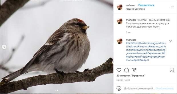 Фото дня: птицу чечётку заметили в Усадьбе Свиблово