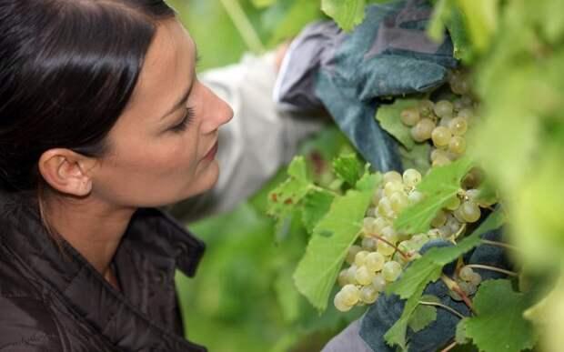 У винограда желтеют листья чем обработать