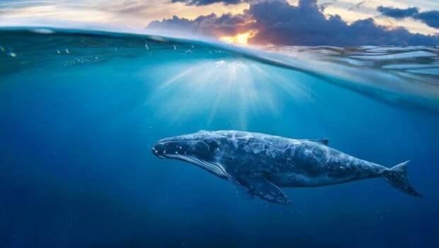 Поведение горбатого кита