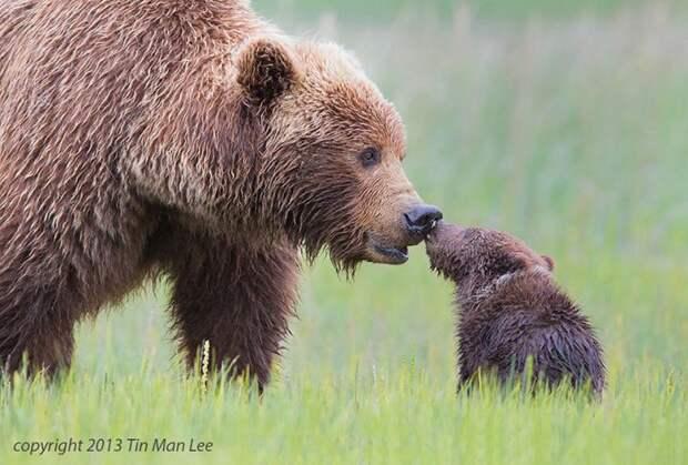 родители животные с их детенышами  бурый медведь (2)